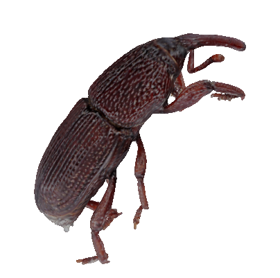 3D Granary Weevil Demo